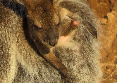 Känguru-Splitter 2019: Nachwuchs bei Familie Wallaby.