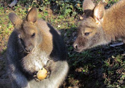 Känguru-Splitter 2020: Immer ein Hingucker!