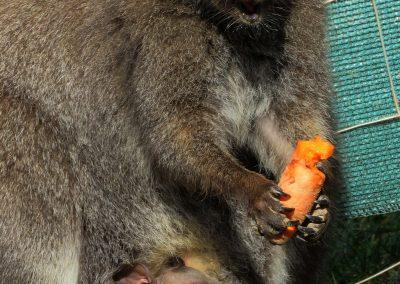 Der Känguru-Nachwuchs des Jahres 2019 zeigt sich.