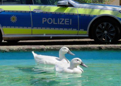 Polizei-Visite Mitte Juli 2018: Glück gehabt, das Interesse der Beamten lag an diesem Tag jedenfalls nicht bei den beiden Laufenten.