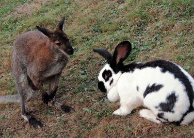 Im Jahre 2018 gab es wohl eine nicht nur für Dörlinbach einzigartige Begegnung: Ein Känguru (Rotnacken-Wallaby) trifft auf ein Kaninchen (Deutscher Riese).