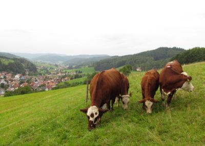 August 2021: Kühe sind im und rund um den Ort in allen Hanglagen – wie hier oberhalb der Hub – anzutreffen.