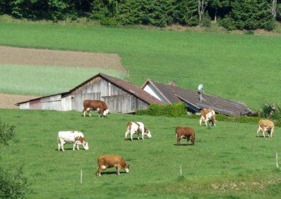 Kühe sind im und rund um den Ort in allen Hanglagen – wie hier am Oberrain – anzutreffen.