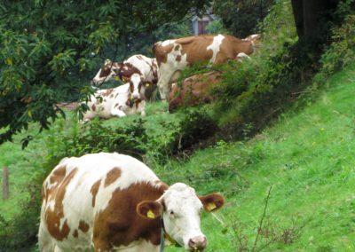Wo man hinschaut – Kühe sind das prägende Bild in den Hanglagen Dörlinbachs. Hier ein paar Beispiele aus September 2021 – aufgenommen am Oberrain.