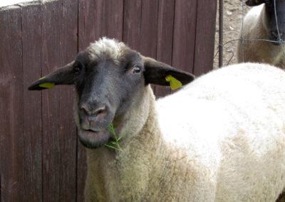 Schaf Bella im September 2021: Einst als schwarzes Lamm zur Welt gekommen. Inzwischen ist die Fellfarbe so hell wie bei den Artgenossen.