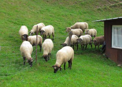 Schaf Bella im September 2021: Sie nimmt eine Sonderrolle ein. Bella grast auf der Wiese. Ihre Artgenossen hinter dem Zaun schauen zu.